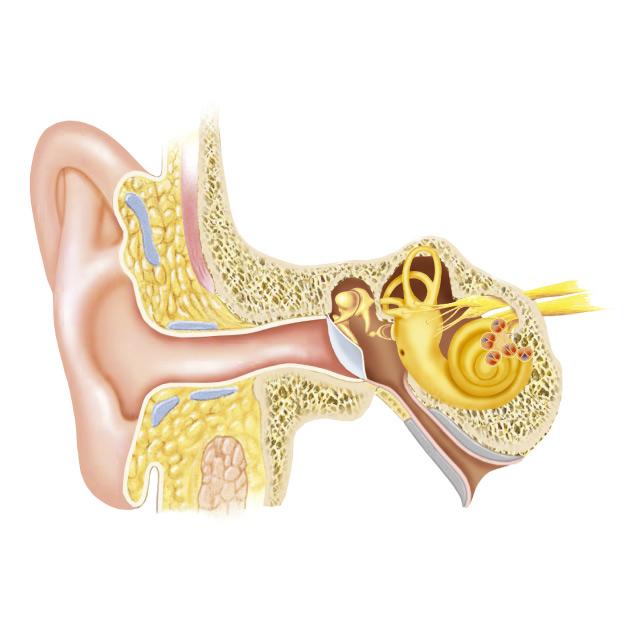 calo-uditivo
